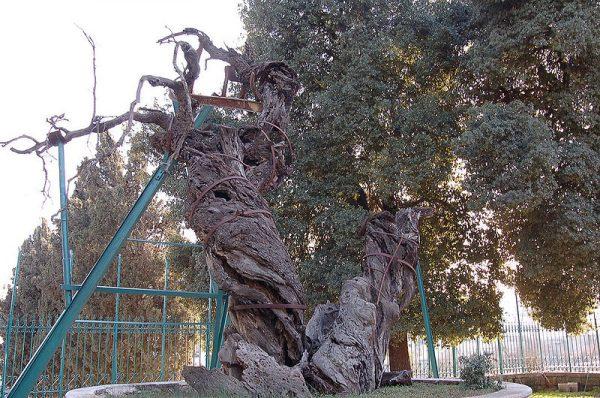 В Хевроне пытаются спасти от гибели библейский Мамврийский дуб