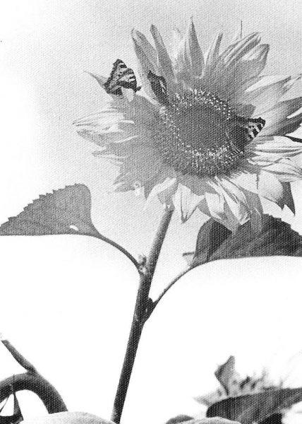 Бабочки на подсолнухе. Фото Евгения Фейерабенда
