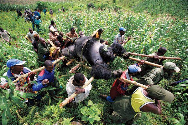 Брент Стиртон. Горилла в Конго. 2007. «Это не случайность, это было спланировано», – Брент Стиртон.