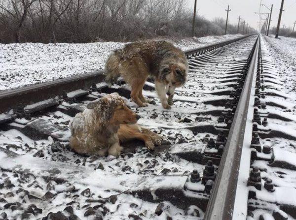 Пес два дня ложился под поезд, защищая другую раненую собаку (+видео)