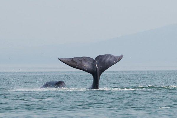 В Хабаровском крае возбуждено дело после наезда катера на кита