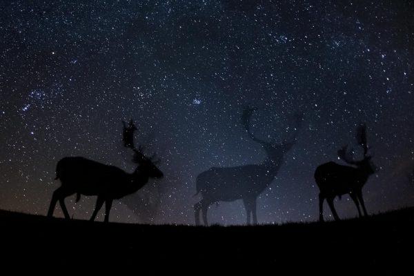 Категория «Природа», третье место в номинации «Фотоистория». Европейские лани на ночной прогулке Фото: Bence Máté