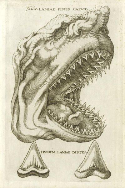 """Иллюстрация к сочинению Николаса Стено, выполненная итальянским гравером Джованни Меркати и изображающая голову и зубы современной акулы. Сравнивая """"каменные языки"""" с современными акульими зубами, Стено пришел к выводу, что они являются окаменевшими зубами древних акул, только гораздо более крупных, чем те, что живут в наши дни."""