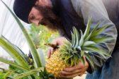 Валаамские монахи вырастили в монастырской теплице ананас