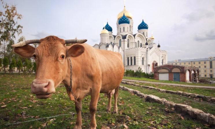 Корова для митрополита