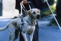 Инвалидов в Ульяновске не пустили в автобус из-за собак-поводырей
