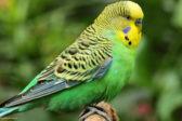 Живущий на Валааме попугай научился молиться – видео