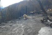 В Калифорнии пес месяц ждал хозяев у сгоревшего дома