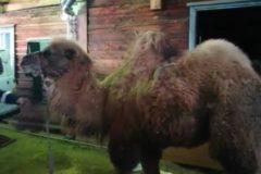 В Иркутской области восемь часов спасали циркового верблюда, попавшего в ДТП