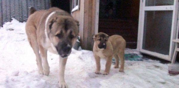 В Архангельске собака предупредила хозяев о пожаре в доме