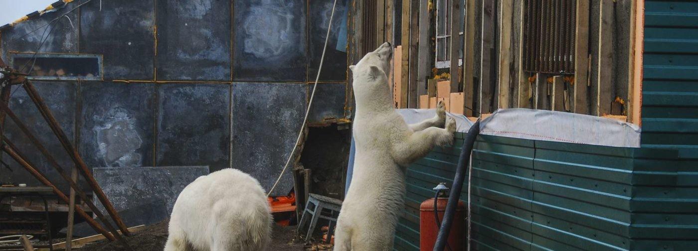 Белые медведи заходят в подъезды домов на Новой Земле. Почему это происходит?