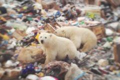 Эколог: Белых медведей привлекли на Новую Землю свалки