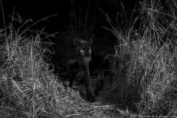 Редкое фото черной пантеры в Африке – первое за 100 лет