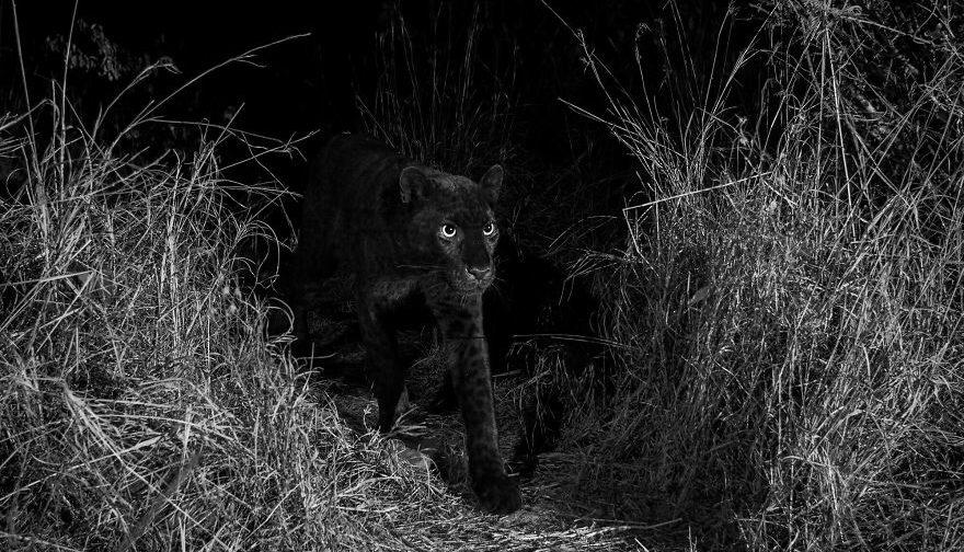 Редкое фото черной пантеры в Африке — первое за 100 лет