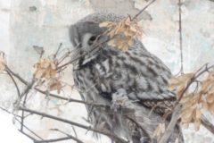 На Урале пожарные спасли обессилевшую от голода сову