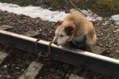В Ленобласти машинист спас собаку, которую привязали к рельсам