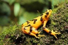 За несколько лет в Эль-Вайе исчезли все золотые лягушки. Грозит ли планете новое вымирание живых существ?
