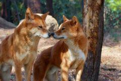 В Австралии отец спас младенца, которого выкрала дикая собака динго