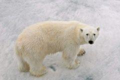 Заблудившегося белого медведя отвезли на вертолете с Камчатки на Чукотку