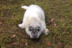 В Ленобласти спасли тюлененка, который заполз в лес