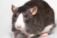 В Петербурге изъяли ребенка из семьи, которая жила в квартире с сотней крыс