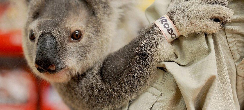 Рукавички для коал и кровать для кенгуру. Как австралийские православные помогают пострадавшим в пожарах