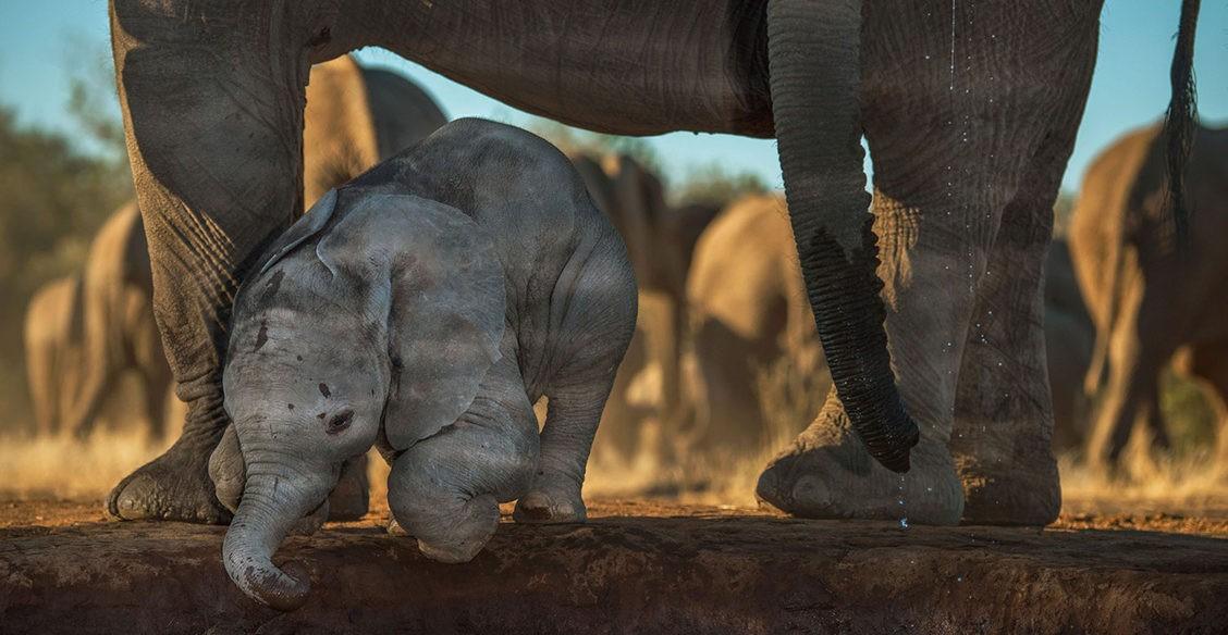 Африканский великан. Фото ко Всемирному дню слонов
