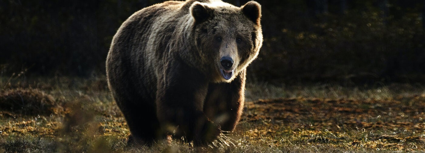 «Слышу рев — на водителя напал медведь!» Как нефтяник спас коллегу