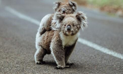 Мама-коала, сердитый лис и улыбка шимпанзе. 10 трогательных фото с животными