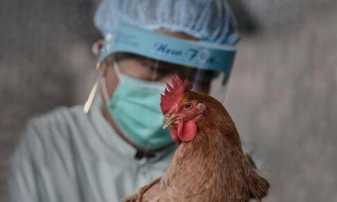 «Вирус рос в кишечнике цыпленка». Как в Гонконге остановили эпидемию птичьего гриппа