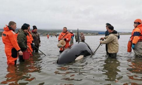 Магаданский Вилли. Жители города спасти детеныша касатки, выброшенного на мелководье