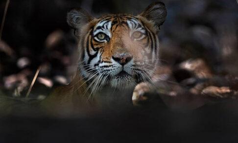 Царственные, но уязвимые. Индийские тигры в естественной среде обитания